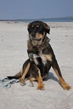 Hund Katana 01